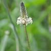 Plantaginaceae - <br /> Plantago lanceolata - Ribwort Plantain