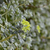 Crassulaceae - <br /> Sedum oregonense- Creamy-flowered Stonecrop