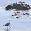 Larus occidentalis - Western Gull