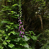 Plantaginaceae - <br /> Digitalis purpurea - Foxglove