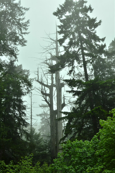 A very cool looking dead tree in Prairie Creek State Park.