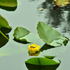 Nuphar polysepala - Yellow Pond Lily, Spatterdock, Cow-lily