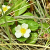 Rosaceae - <br /> Fragaria chiloensis - Beach Strawberry, Coast Strawberry