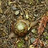 Monadenia fidelis - Pacific Sideband