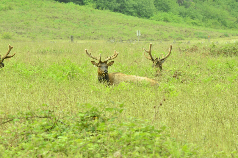 Roosevelt Elk<br /> A frequent feeding ground for the Roosevelt Elk is Prairie Creek State Park