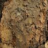 Pinus ponderosa - Ponderosa Pine bark