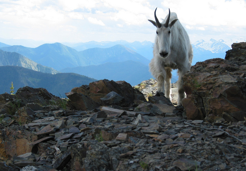 We had a crazy goat keep us company at the top.