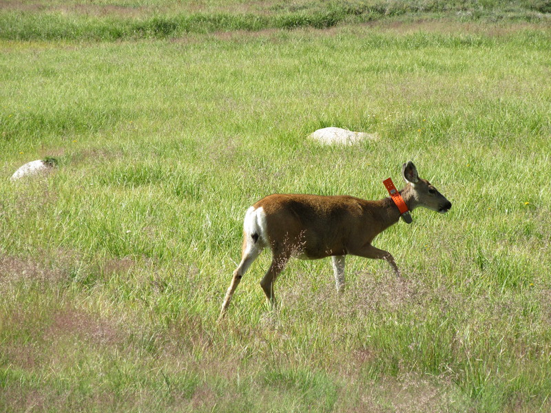 ... this adult doe with its collar and ...