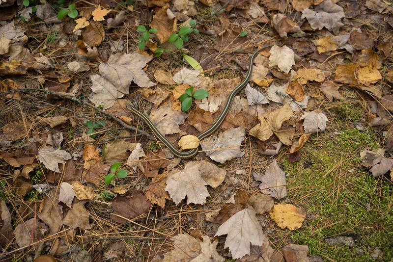 We saw 2 garter snakes.