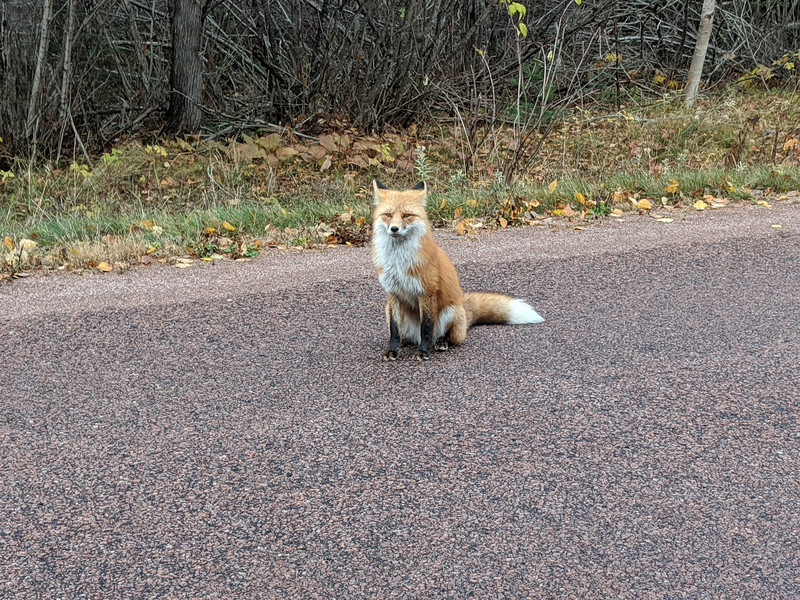 A fox on our drive out of the park. Not sure if it was sick or if it is accustomed to people feeding it.