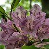 Rhododendron catawbiense - Catawba Rhododendron