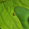 Diabrotica undecimpunctata - Spotted cucumber beetle