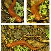 Pseudotriton ruber schencki - Black-Chinned Red Salamander