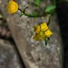 Ranunculus hispidus - Hispid Buttercup