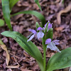 Galearis spectabilis - Showy Orchis