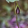 Trillium erectum - Red Trillium red morph