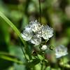 Boraginaceae - <br /> Phacelia fimbriata - Fringed Phacelia