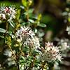 Leiophyllum buxifolium - Mountain Myrtle