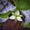 Trillium simile - Sweet White Trillium<br /> and<br /> Snow