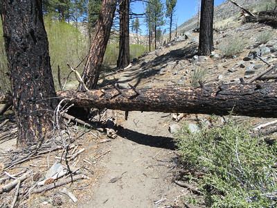 A few feet after crossing Crag Creek, the first of six blowdowns across the trail between there and the north end of Clover Meadow.