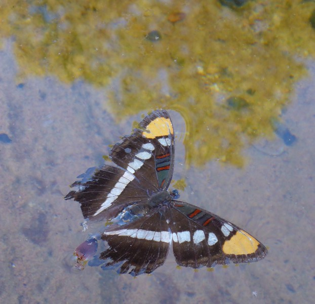 Day 4  - Racetrack Knoll day hike and climb.  A butterfly floating in a pool.