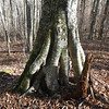 Lots of very cool Beech trees with exposed roots along the Kimsey Creek trail.