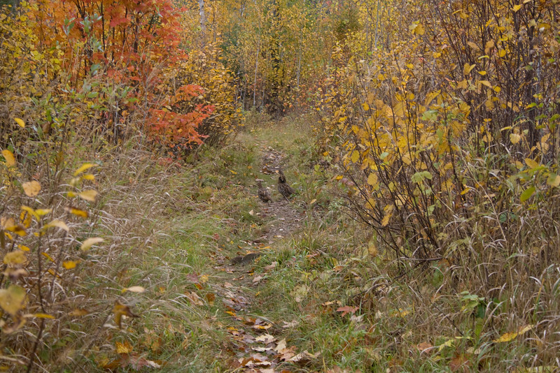 I saw twenty some grouse on this trip. Too bad I didn't have my 75-300mm lens .. or my shotgun.