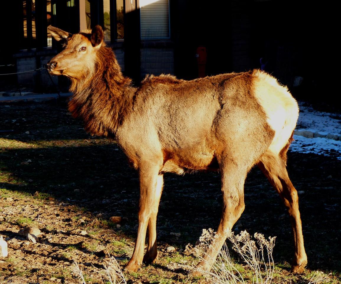 Elk at South Rim.