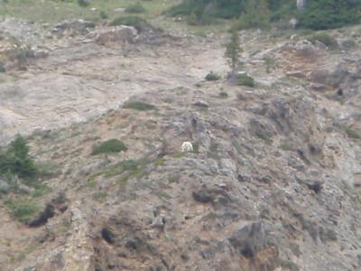 Mountain Goat along Badger Pass.