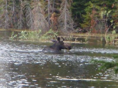 Bull Moose at Beaver Lake.