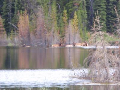 Elk swimming in Beaver Lake