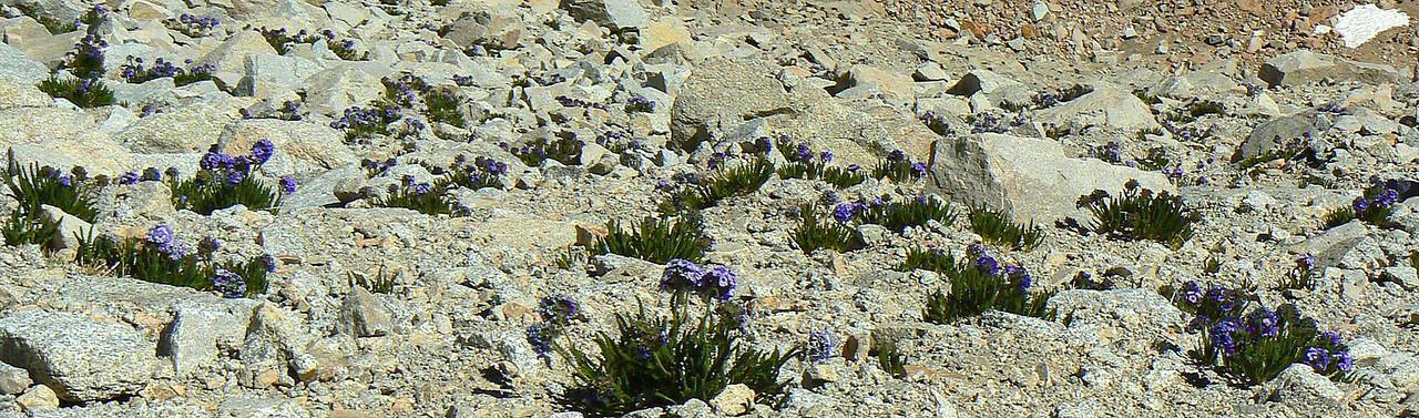 Polemonium rock garden
