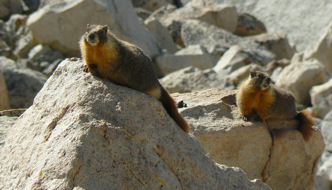 Yellow Bellied Marmot Marmota flaviventris