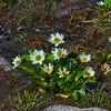 Caltha leptosepala - Marsh Marigold