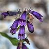 Penstemon whippleanus A. - Gray Whipple's Penstemon