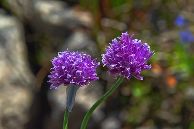 Amaryllidaceae -  Allium schoenoprasum - Wild Chive