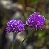 Allium schoenoprasum - Wild Chive