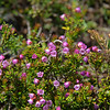 Phyllodoce empetriformis - Pink Mountain-Heather