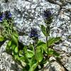 Veronica wormskjoldii - American Alpine Speedwell