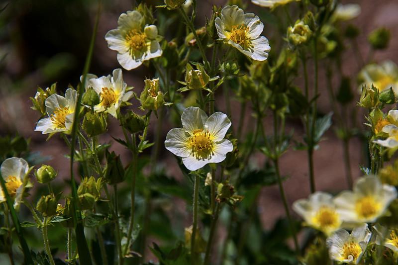 Rosaceae - Potentilla recta - Sulphur Cinquefoil