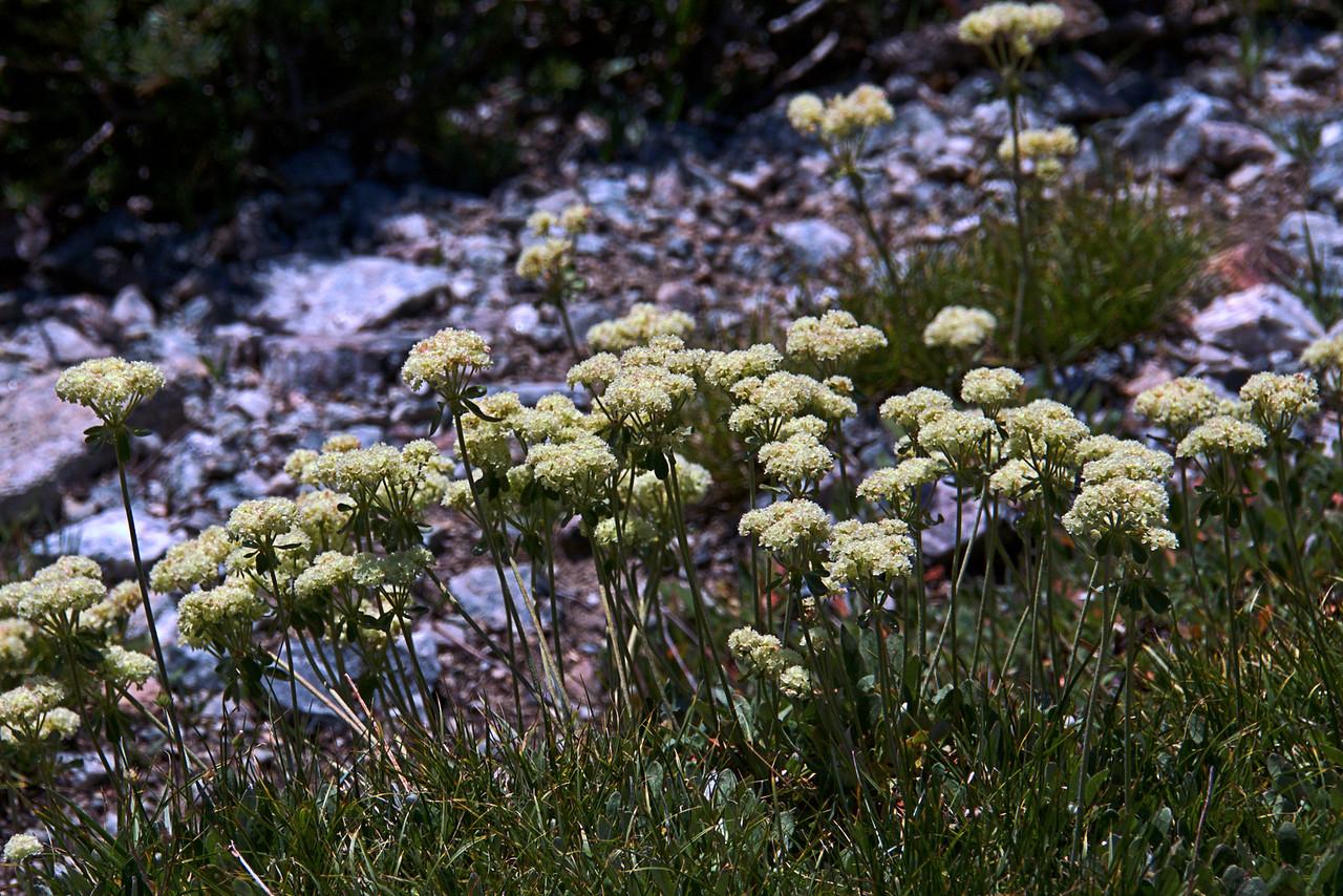 Polygonaceae -  Eriogonum ovalifolium - Cushion Buckwheat