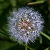 Taraxacum - Dandelion