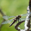 Pacific Spike-tailed dragonfly