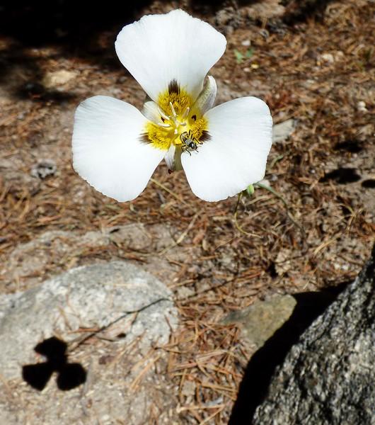 Leichtlin's Mariposa Lilly