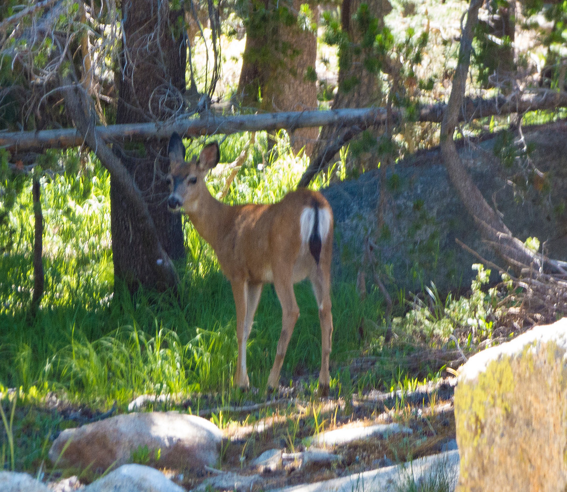 A Columbian Black-tailed doe