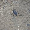 Eleodes - Utah Stink Beetle
