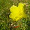 Onagraceae - <br /> Oenothera - Evening Primrose