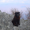 Shunka sits on the overlook rocks atop Hangover Mt.