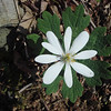 My favorite flower, Bloodroot.