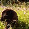 Shunka gets caught up in the phlox.